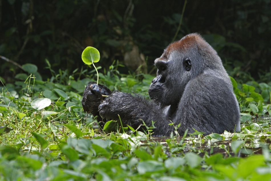 "IMAGE IS FOR YOUR ONE-TIME EXCLUSIVE USE ONLY AS A TIE-IN WITH THE NATIONAL GEOGRAPHIC BOOK ""SIMPLY BEAUTIFUL."" NO SALES, NO TRANSFERS. DEMOCRATIC REPUBLIC OF THE CONGO A silverback gorilla soaks in a swamp while munching on water plants.  (p. 238-239, Ian Nichols)"